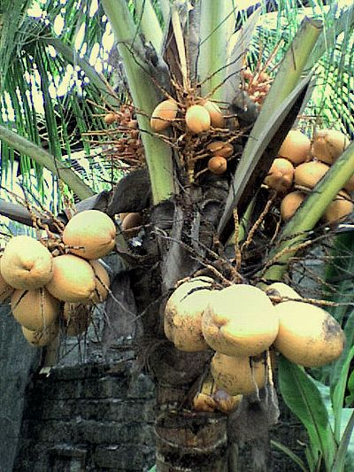 coconut in Sanur