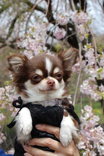 とこびんと桜