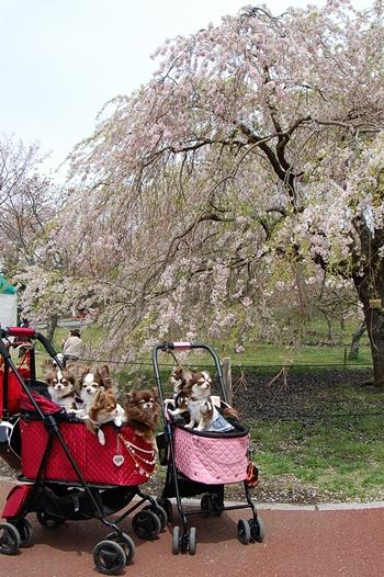 てんこ盛りカートとしだれ桜