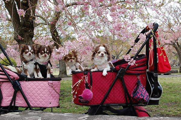 桜とチワワンズ