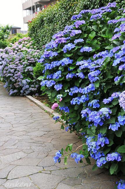 018  紫陽花の小道