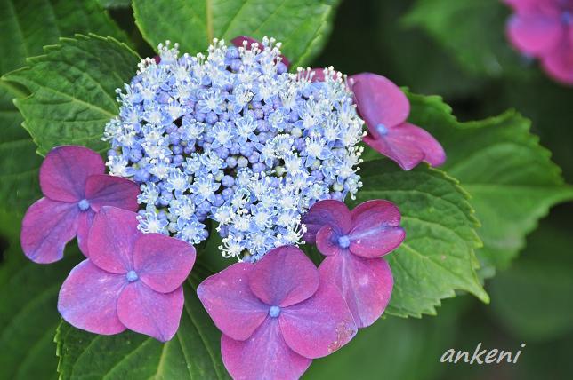 032  紫陽花