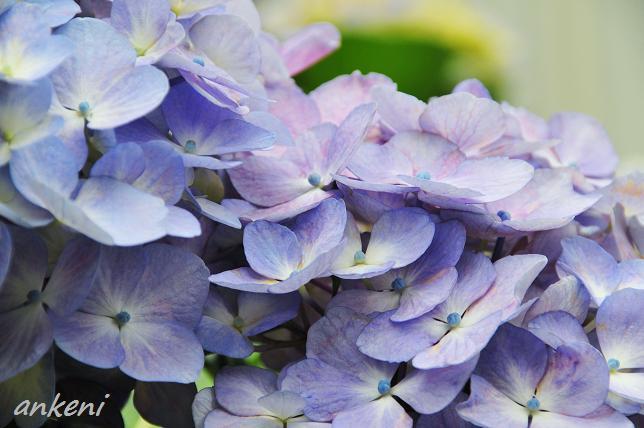 033  紫陽花