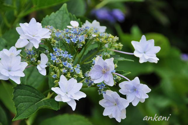091  紫陽花