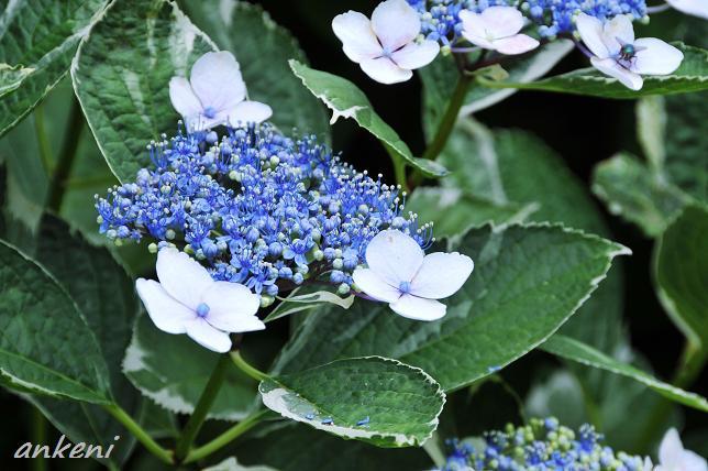 093  紫陽花
