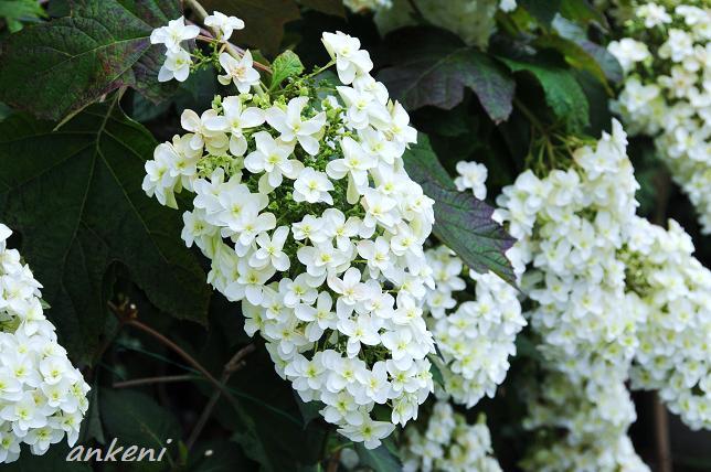 094  紫陽花