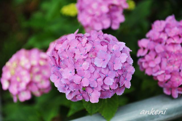 227  紫陽花