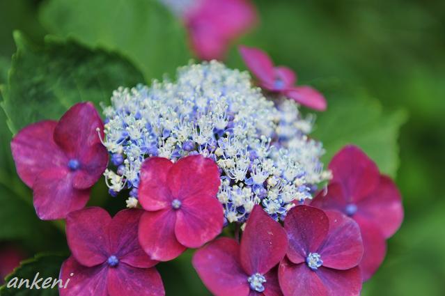 235  紫陽花