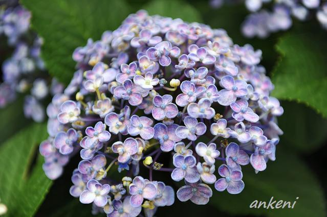 紫陽花221