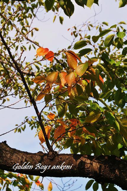 014  桜の木