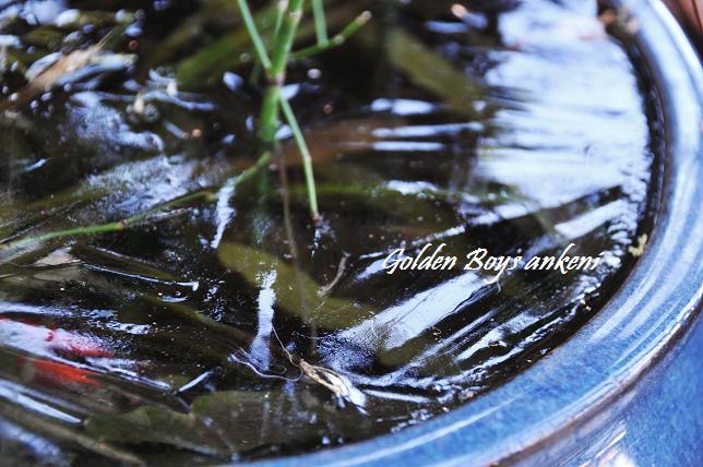 006  金魚鉢
