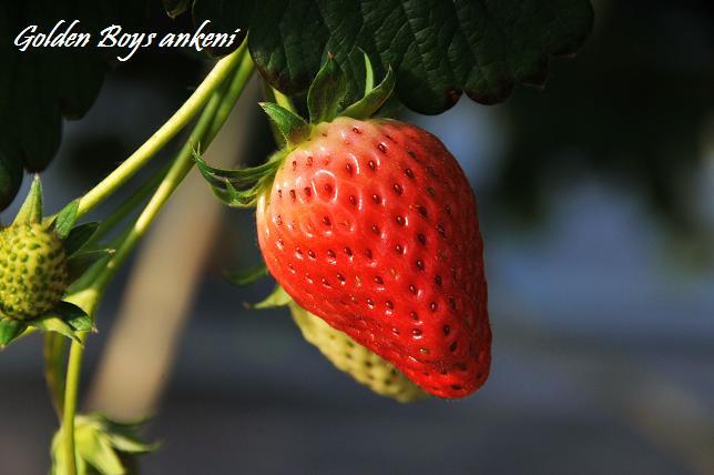 193  イチゴ