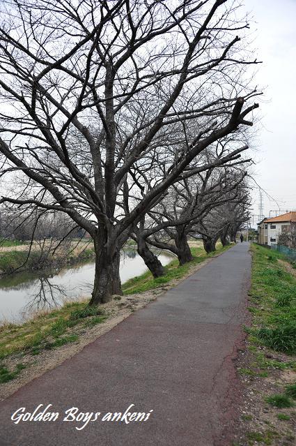 081 桜並木