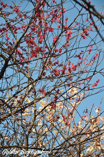 1984  梅の花