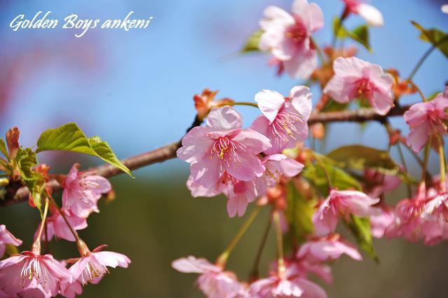 087  桜