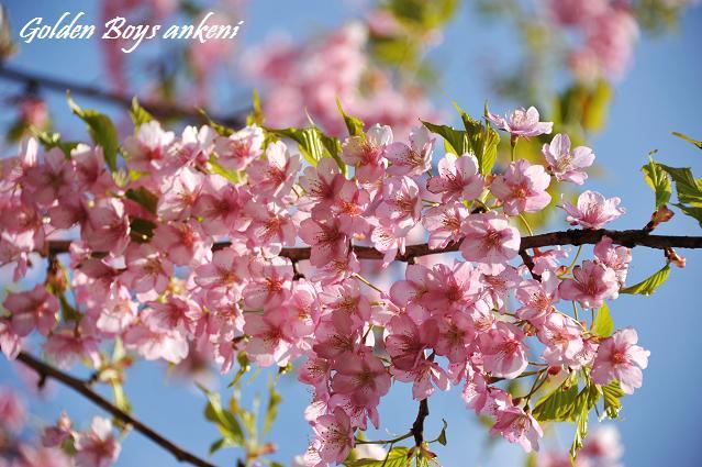 213  桜