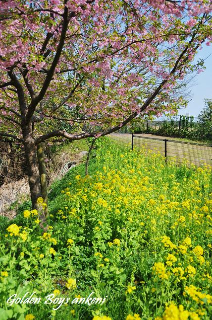 345  桜&菜の花