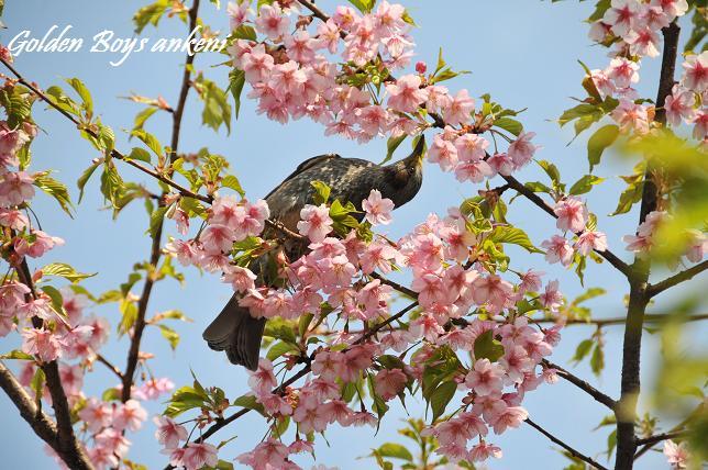 433  桜&野鳥