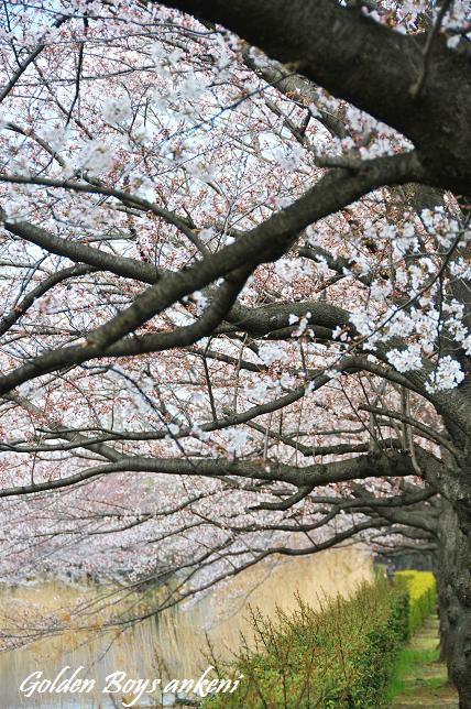 034  桜並木