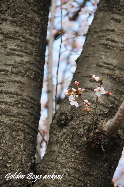 039  桜