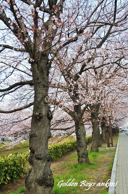 045  桜並木