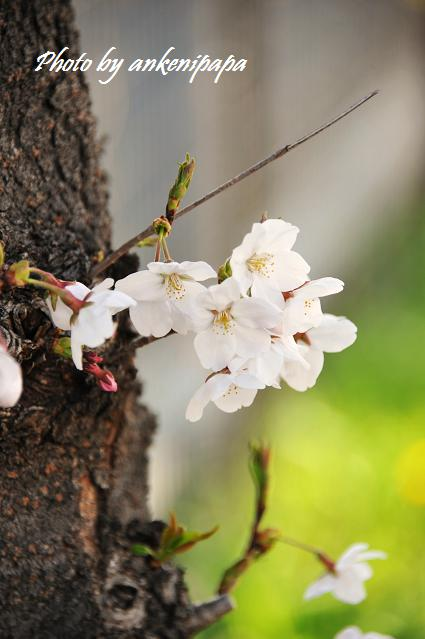 026  桜