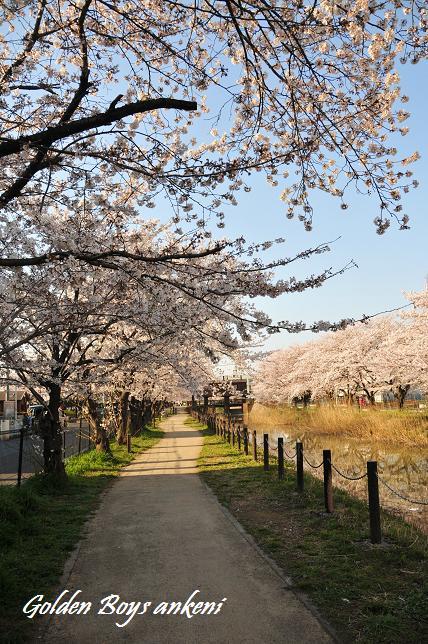 217  桜並木