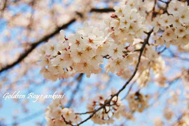 019  桜