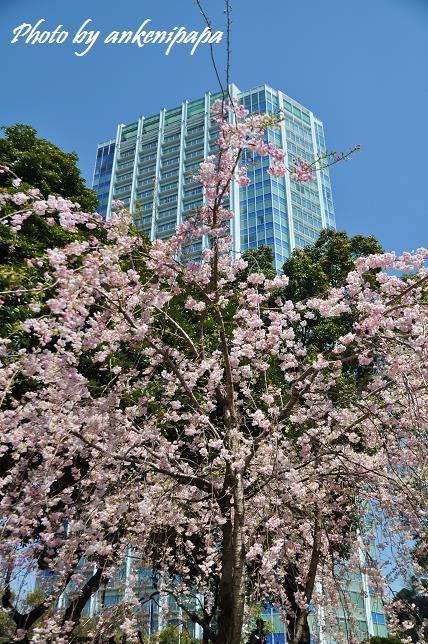 038  桜