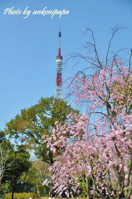 050  東京タワー&桜