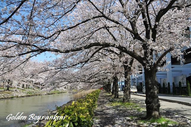 224  桜並木