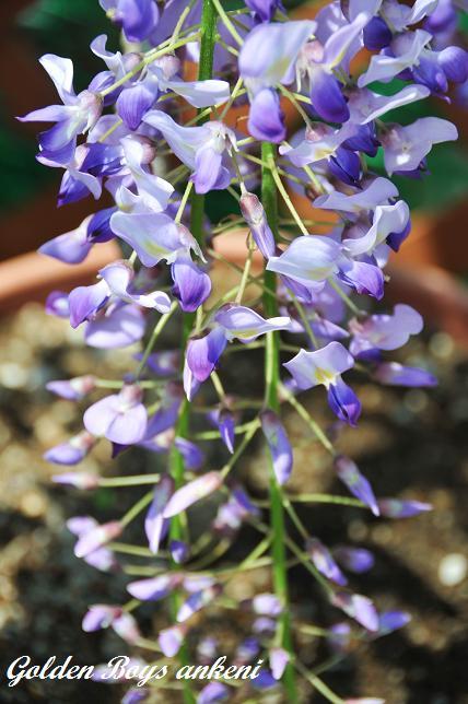 153  藤の花