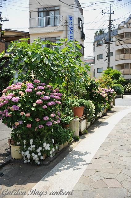 010  紫陽花