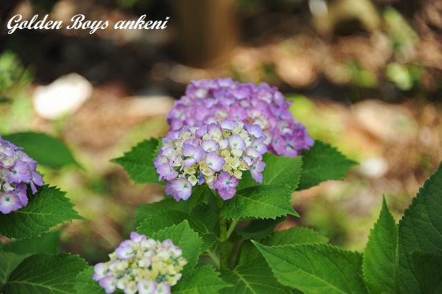 023  紫陽花