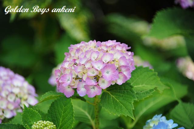 028  紫陽花