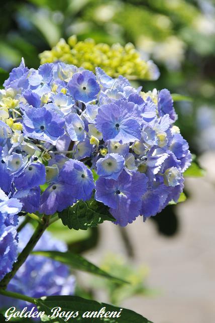 213  紫陽花