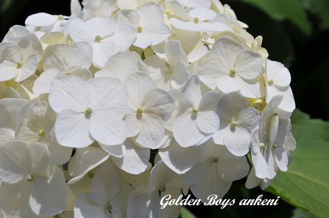 216  紫陽花