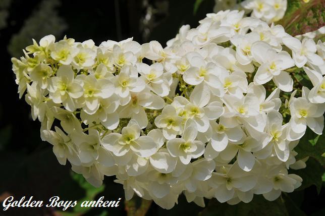 218  紫陽花