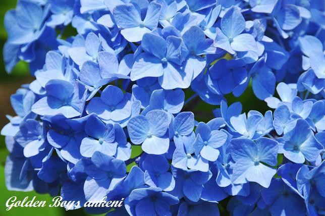222  紫陽花