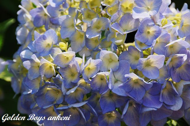 224  紫陽花