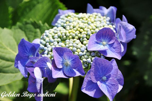 226  紫陽花