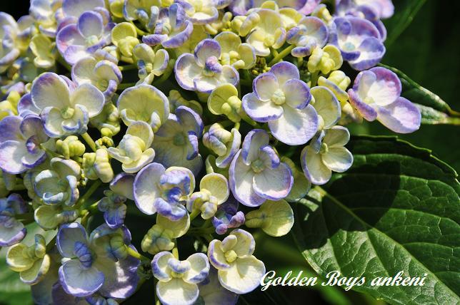 228  紫陽花