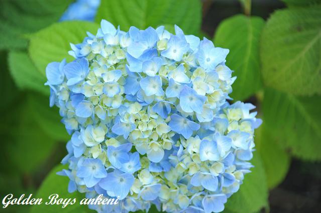 029  紫陽花