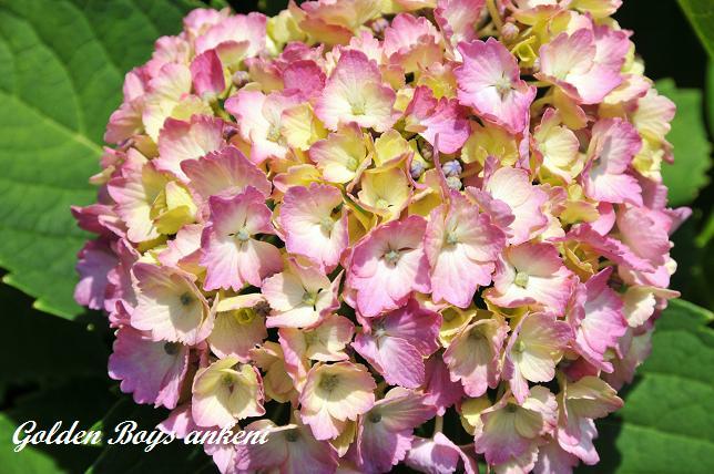 223  紫陽花