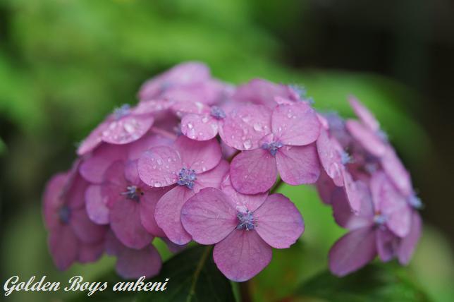 108  紫陽花