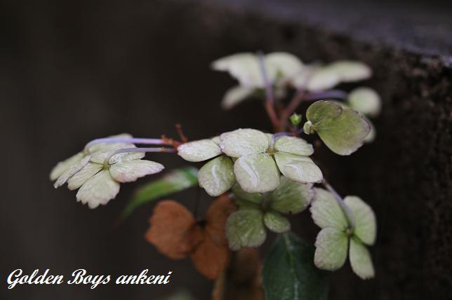 110  紫陽花