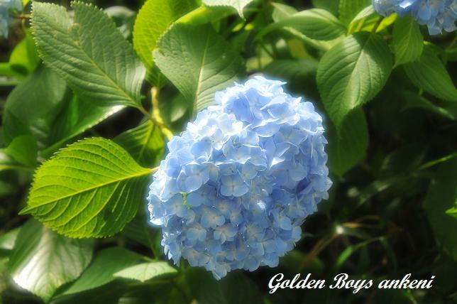 031  紫陽花