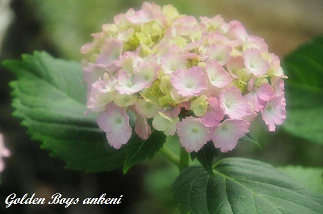 034  紫陽花