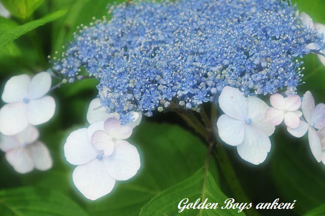 037  紫陽花