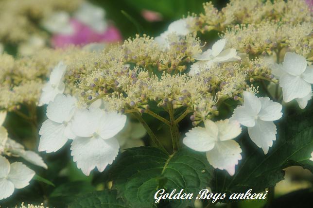 039  紫陽花